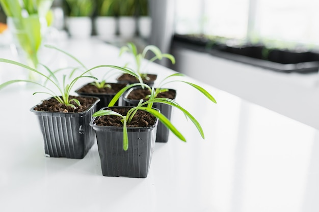 白いテーブルに移植する前に、プラスチック製の黒い鉢に若い花の苗のセット。コピースペース。