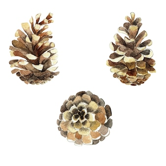 Set of pine fir cones botanical hand drawn watercolor illustration isolated christmas pine fir