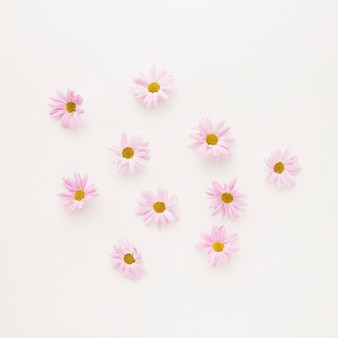 Set of pink daisy flower buds