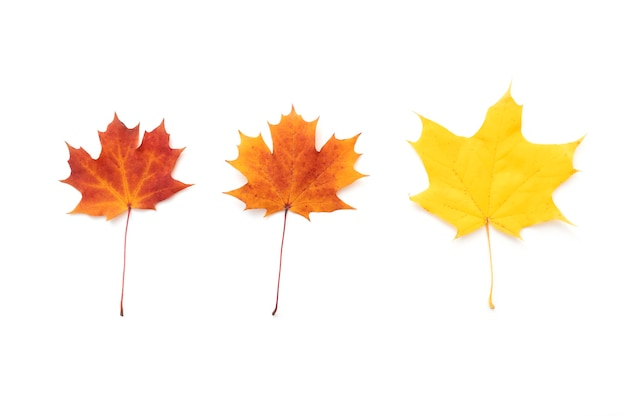Set of three maple leaves red orange yellow maple leaves isolated on white