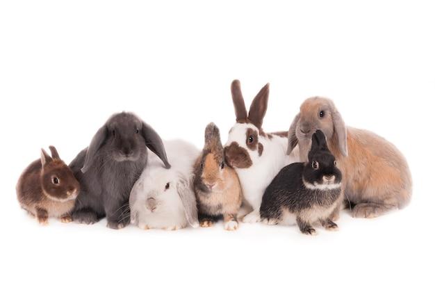 一緒にポーズをとる7匹の異なるウサギ。白で隔離。