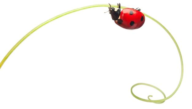 Seven-spot ladybird or seven-spot ladybug on larger bindweed, hedge bindweed, or rutland beauty -  coccinella septempunctata