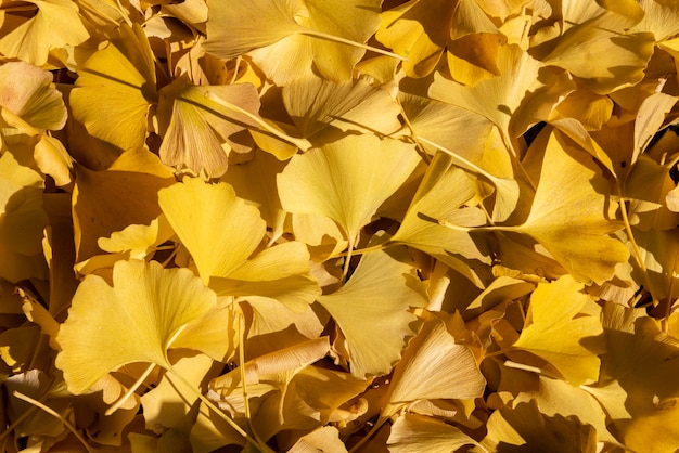 Several beautiful yellow leaves of ginkgo biloba lining the ground being lit by soft autum light.