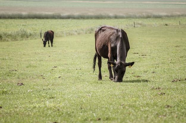 아침에 큰 초원에서 방목하는 여러 검은 소