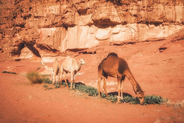 Several camels  grazes  in the sands of the wadi rum desert in jordan