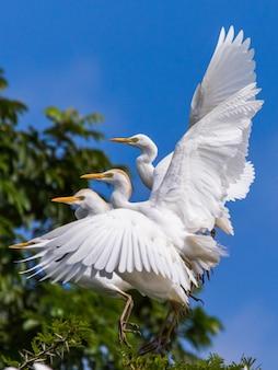 いくつかの牛の白鷺が青い空を背景に木から離陸しています Premium写真