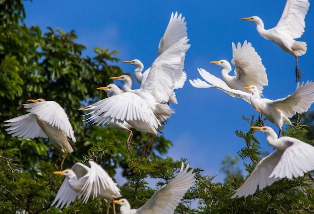 いくつかの牛の白鷺が青い空を背景に木から離陸しています