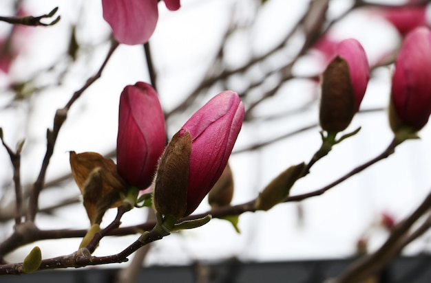목련의 여러 닫힌 새싹, 가지에 꽃 머리입니다. 사진을 닫습니다. 사진을 닫습니다.