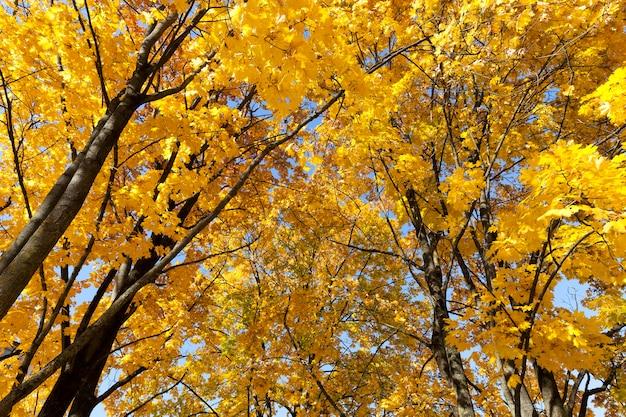 Несколько крон кленов в осенний сезон, вид снизу, верхушки деревьев