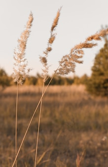 Several dried flowers of pampas grass on a steppe plot closeup natural background in a minimal