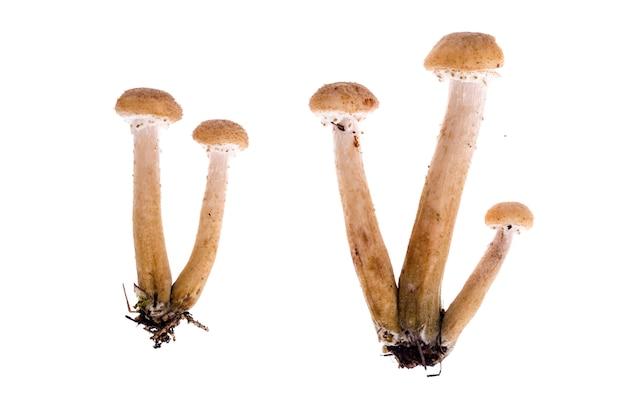 Several edible armillaria mushrooms background