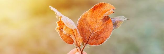 Несколько упавших уродливых листьев красного апельсина яблока с белыми холодными кристаллами холода в руке женщины на фоне размытой зеленой травы в саду морозным ранним осенним утром. баннер. вспышка