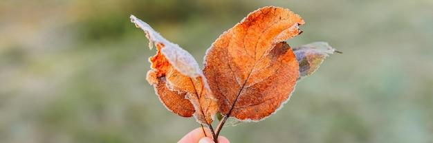 Несколько упавших уродливых листьев красного апельсина яблока с белыми холодными кристаллами холода в руке женщины на фоне размытой зеленой травы в саду морозным ранним осенним утром. знамя