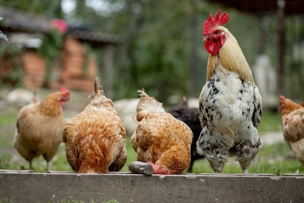 田舎でトウモロコシを食べている数羽の農場の鶏