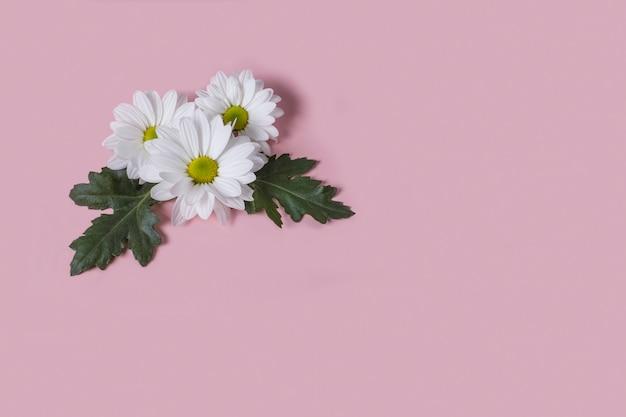 ピンクの背景に大きな秋のlevcantemellaカモミールの花のいくつか