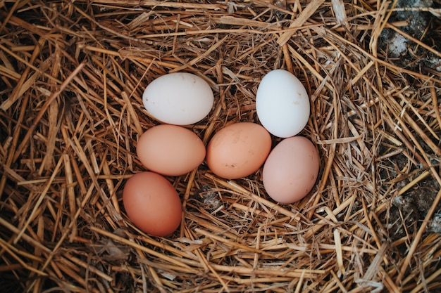Several fresh eggs laid by the hen in the straw of the farm