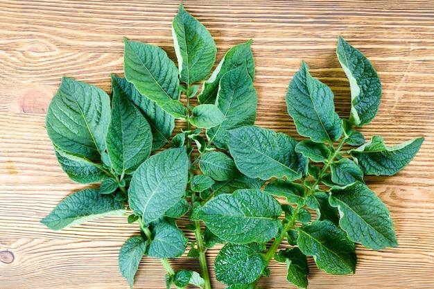 Несколько свежих зеленых листьев картофеля летом, особенности листвы картофеля
