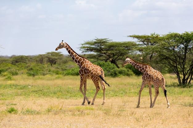 Несколько жирафов идут по лугам