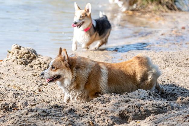 砂浜の水で遊んだりジャンプしたりする幸せなウェルシュコーギー犬