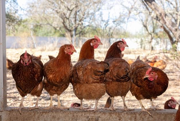 Несколько кур заглядывают в свой курятник