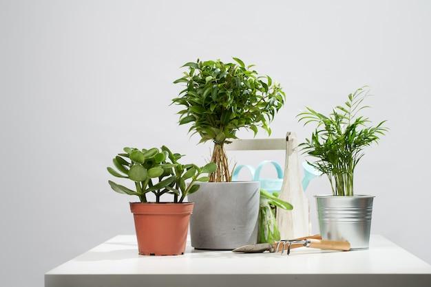 いくつかの屋内植物、空の灰色の背景にスクープとレーキと鉢植えのサボテン