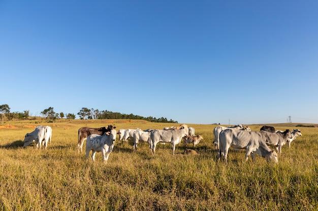 牧草地のいくつかの牛と牛。