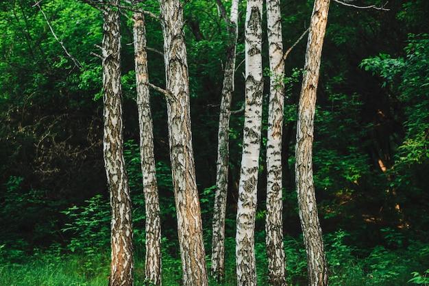 いくつかの平行した白樺の木が暗い森の背景に生えています。豊かな植生のクローズアップの中で白樺の幹から行。茂みの近くの木の幹からの自然な背景。白樺のあるシンプルな風景。