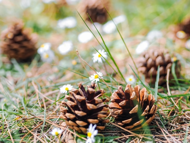 Several pine or fur cones fallen on the ground in the forest with daisy flowers in a summer day. clearing in the woods with forest gifts - chamomile and cones. summer decoration nature wall.