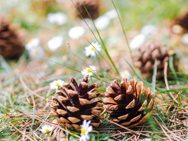 いくつかの松や毛皮のコーンがデイジーの花の森の中で地面に落ちた