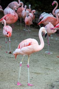 Several pink birds flamingos are walking along the sand big birds