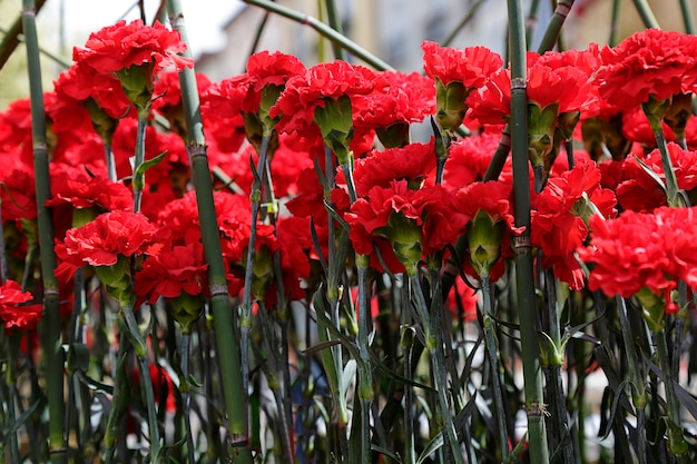 Several red carnation in a garden