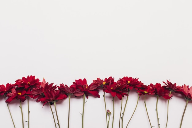Several red flowers of chrysanthemums on a white background