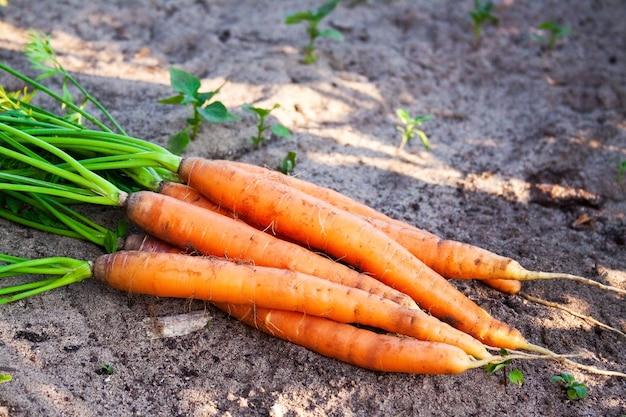 いくつかの熟したニンジンが地面に横たわっています。有機農産物、野菜