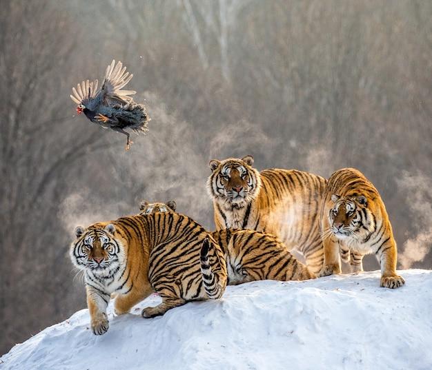 Несколько сибирских тигров стоят на заснеженной горе и ловят добычу.