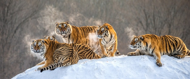 Several siberian tigers on a snowy hill