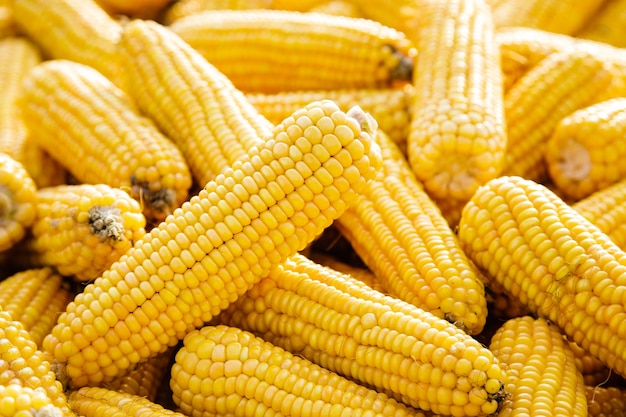 Several sweet corn ears. yellow corn as vegetable background.
