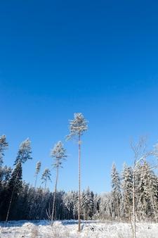 숲의 키 큰 소나무 몇 개가 밤 서리로 완전히 덮여 있습니다. 맑고 화창한 날에 푸른 하늘이 겨울 풍경