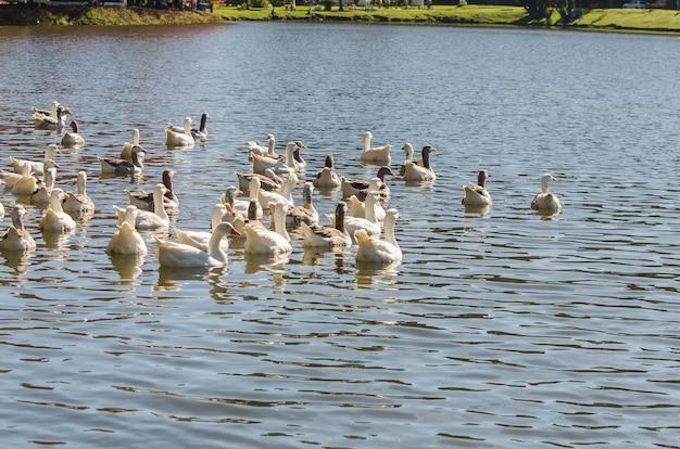 ブラジルの湖で泳ぐいくつかの白いアヒル