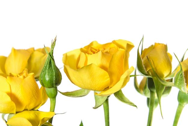 白い背景の上のいくつかの黄色いバラ