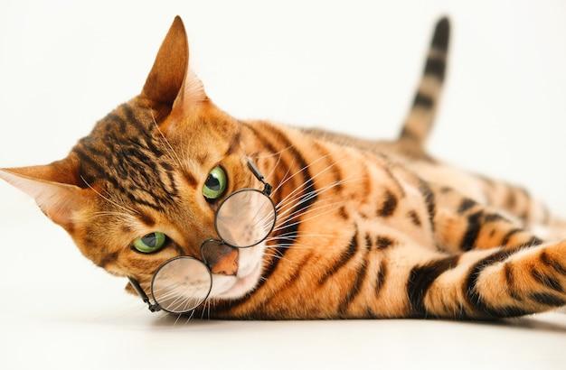 Суровый взгляд имбиря бенгальской кошки в очках, глядя на камеру, лежащую на белом фоне, изолированные. домашнее животное плохое зрение концепция или строгий школьный профессор или идея животных и юмора. крупным планом
