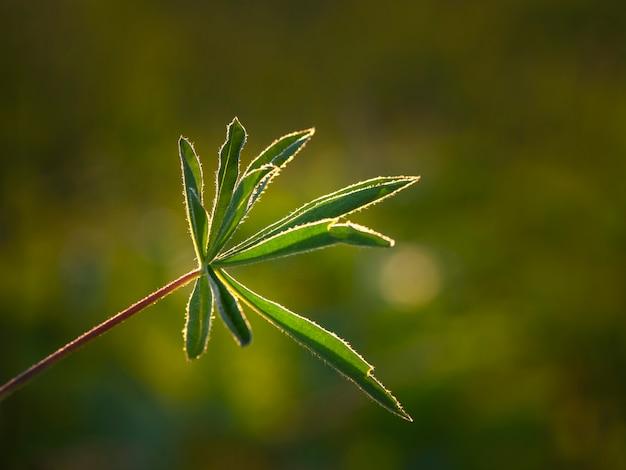 影と光。自然に緑の透かし彫りの葉。太陽の下でルピナスの枝