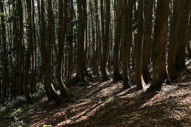 Тенистый горный буковый лес со скрученными стволами