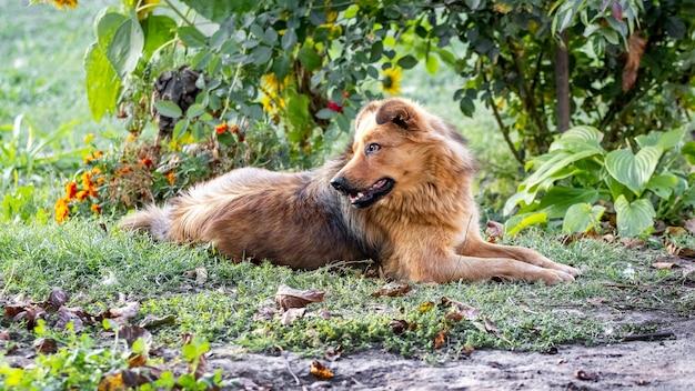 毛むくじゃらの茶色の犬がバラの茂みの近くの庭に横たわっている