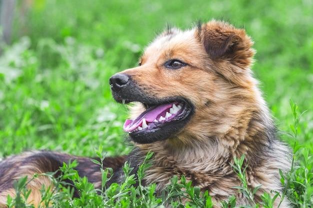 Лохматая коричневая собака лежит в траве и оглядывается_