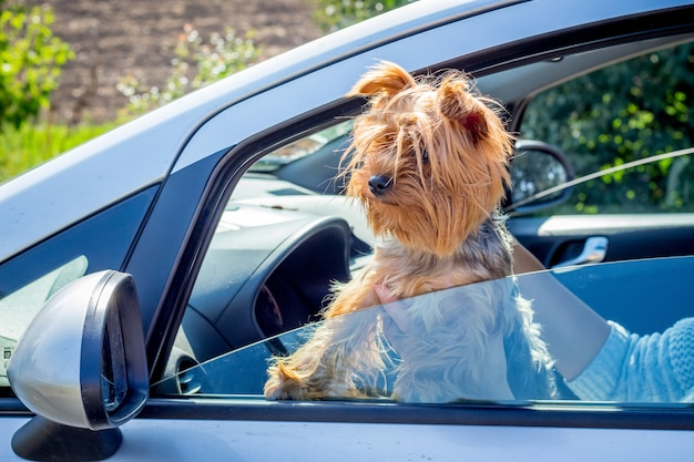 The shaggy dog looks from the car window