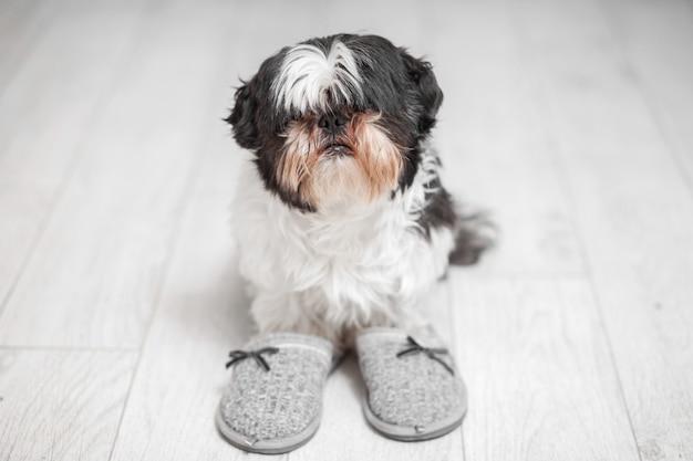 家のスリッパの近くに立っているシーズー犬の毛むくじゃらの犬。