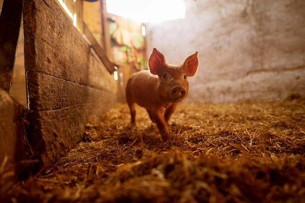 Shallow depth of field pig portrait at pigsty