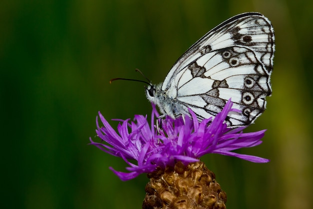Shallow focus of a beautiful white butterfly with black dots on a flower
