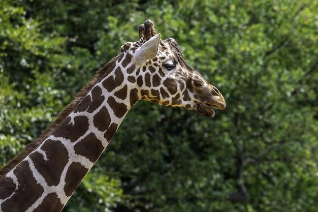Colpo poco profondo del primo piano del fuoco di una giraffa vicino agli alberi verdi