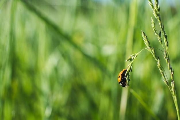 草の上のてんとう虫の浅い焦点のクローズアップショット
